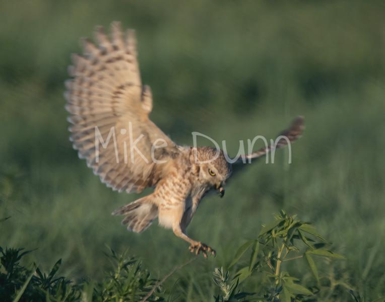 Burrowing Owl 19-31