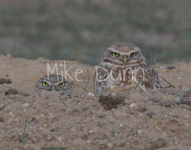 Burrowing Owl 19-3