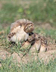 Burrowing Owl 19-44