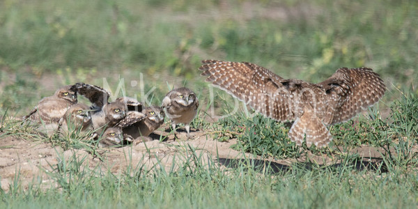 Burrowing Owl 19-43