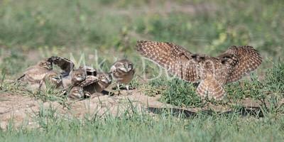 Burrowing Owl 19-43