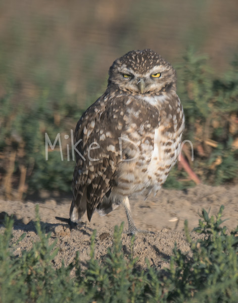 Burrowing Owl 19-61
