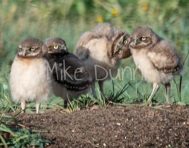 Burrowing Owl 19-49
