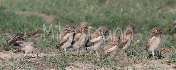 Burrowing Owl 19-45