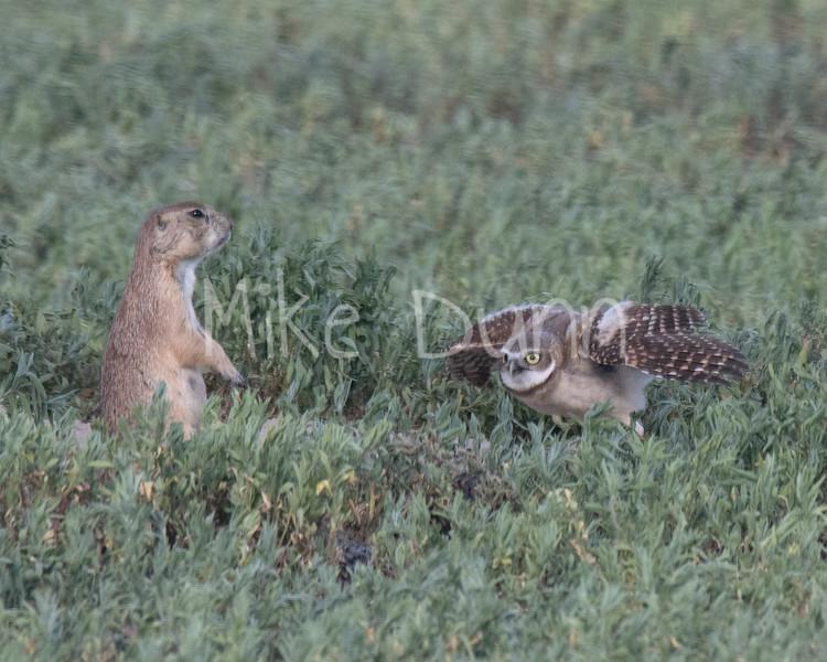 Burrowing Owl 19-52