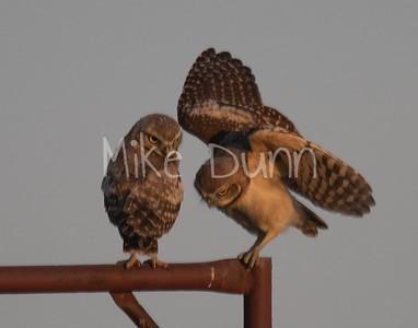 Burrowing Owl 19-53