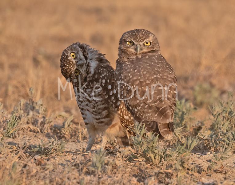 Burrowing Owl 20-73