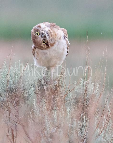 Burrowing Owl 20-77