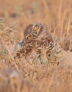 Burrowing Owl 20-65