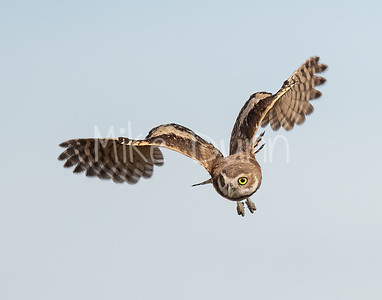 Burrowing Owl 20-68