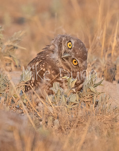Burrowing Owl 20-66
