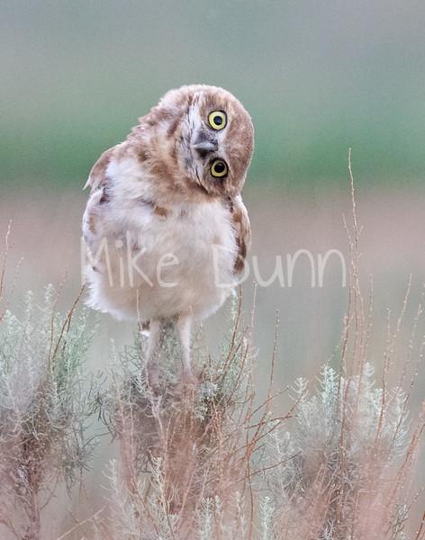 Burrowing Owl 20-78
