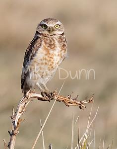 Burrowing Owl 20-4