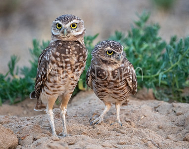 Burrowing Owl 20-69
