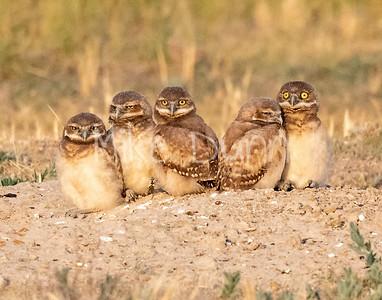 Burrowing Owl 20-75
