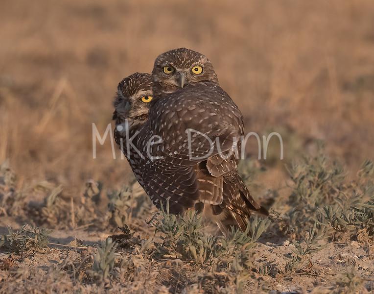 Burrowing Owl 20-74