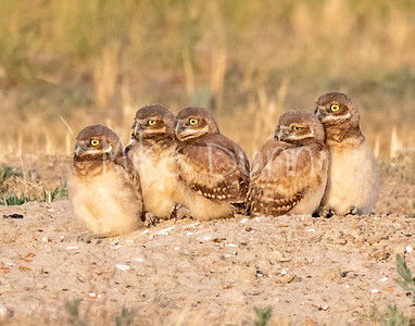 Burrowing Owl 20-76