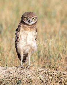 Burrowing Owl 20-71
