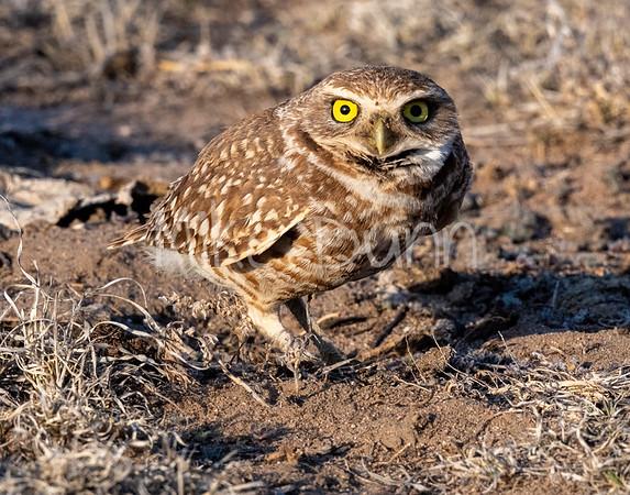 Burrowing Owls -2020