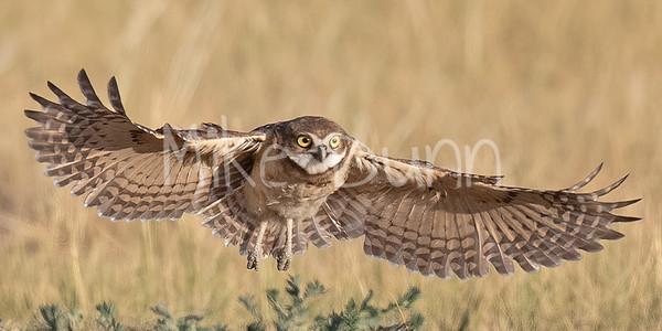 Burrowing Owl 20-50