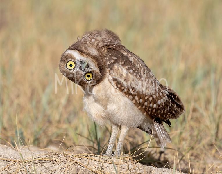 Burrowing Owl 20-48
