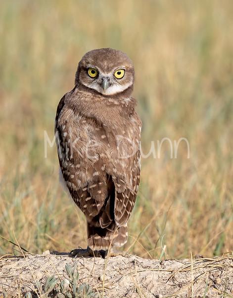 Burrowing Owl 20-72