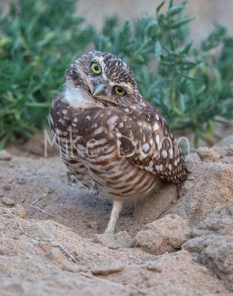 Burrowing Owl 20-70