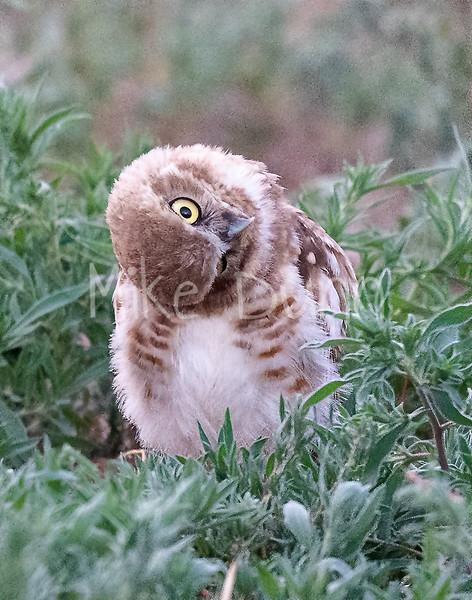 Burrowing Owl 20-79