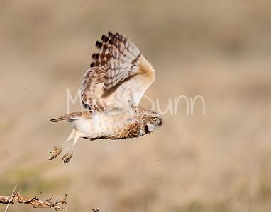 Burrowing Owl 20-3