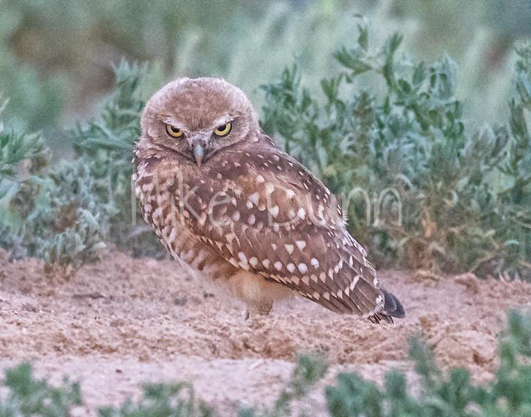 Burrowing Owl 20-80