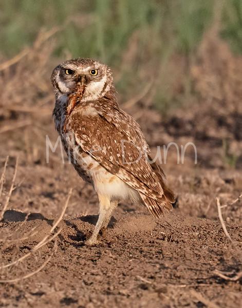 Burrowing Owl 21-8