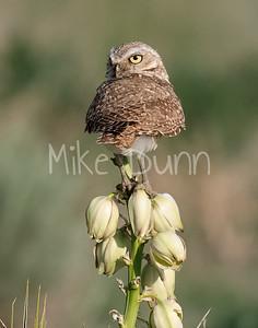 Burrowing Owl 21-9