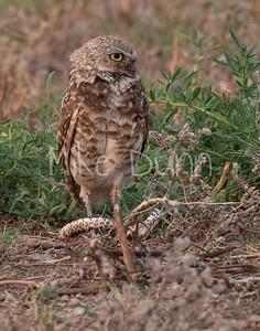 Burrowing Owl 21-56