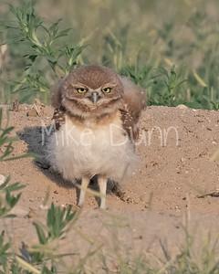 Burrowing Owl 21-45