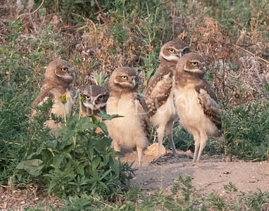 Burrowing Owl 21-49