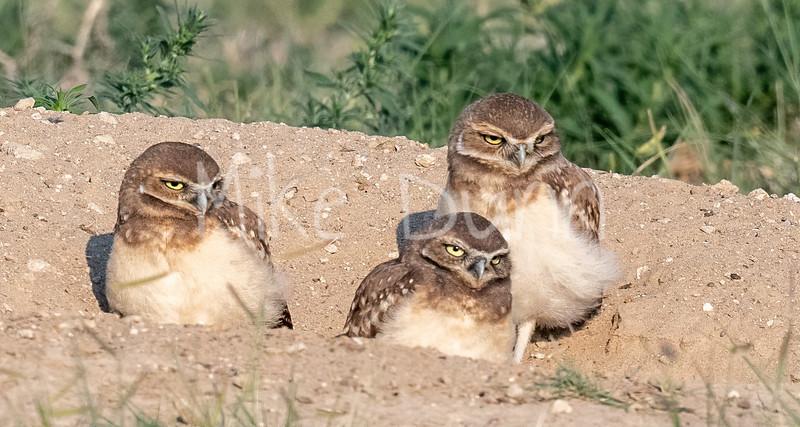 Burrowing Owl 21-32