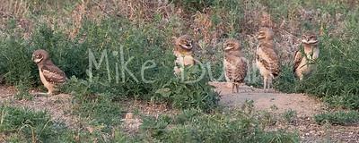 Burrowing Owl 21-50
