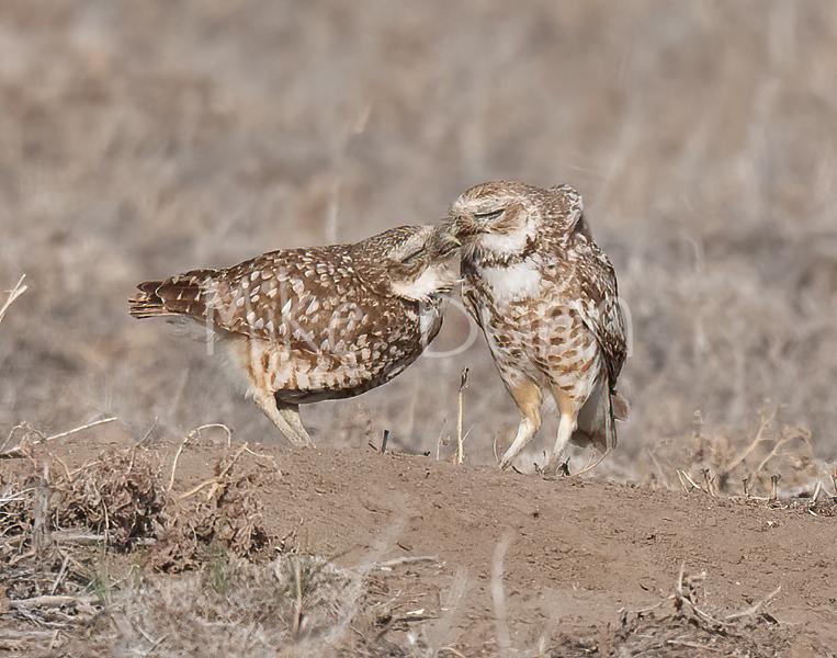 Burrowing Owl 21-4