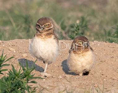 Burrowing Owl 21-30