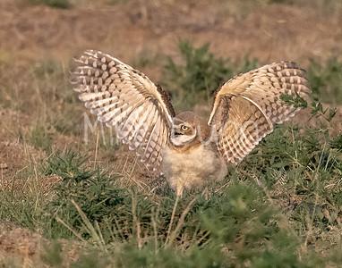 Burrowing Owl 21-51