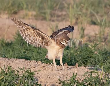 Burrowing Owl 21-18