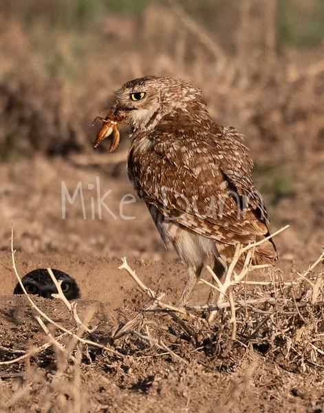 Burrowing Owl 21-7