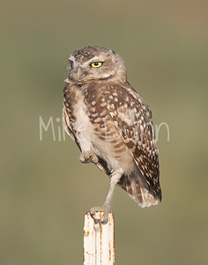 Burrowing Owl 21-69