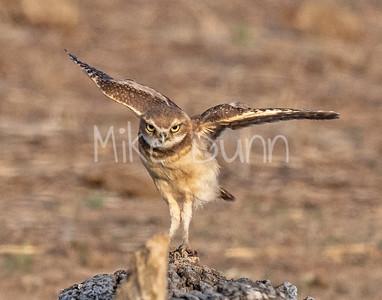 Burrowing Owl 21-64