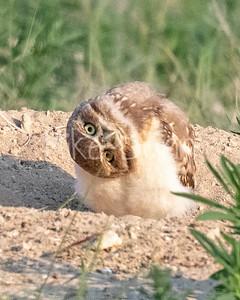 Burrowing Owl 21-31