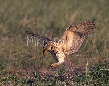 Burrowing Owl 21-12