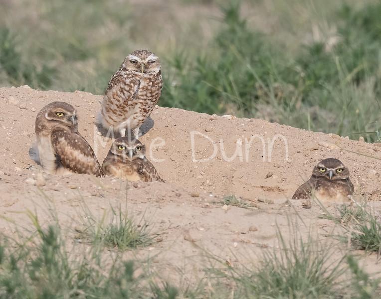Burrowing Owl 21-22