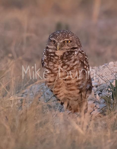 Burrowing Owl 21-29