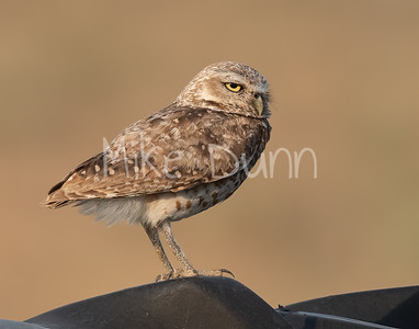 Burrowing Owl 21-37