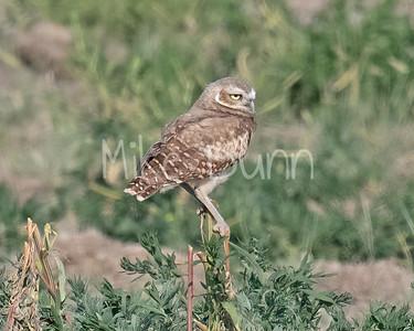 Burrowing Owl 21-40